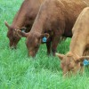 South Poll/Beefmaster Cross Heifers