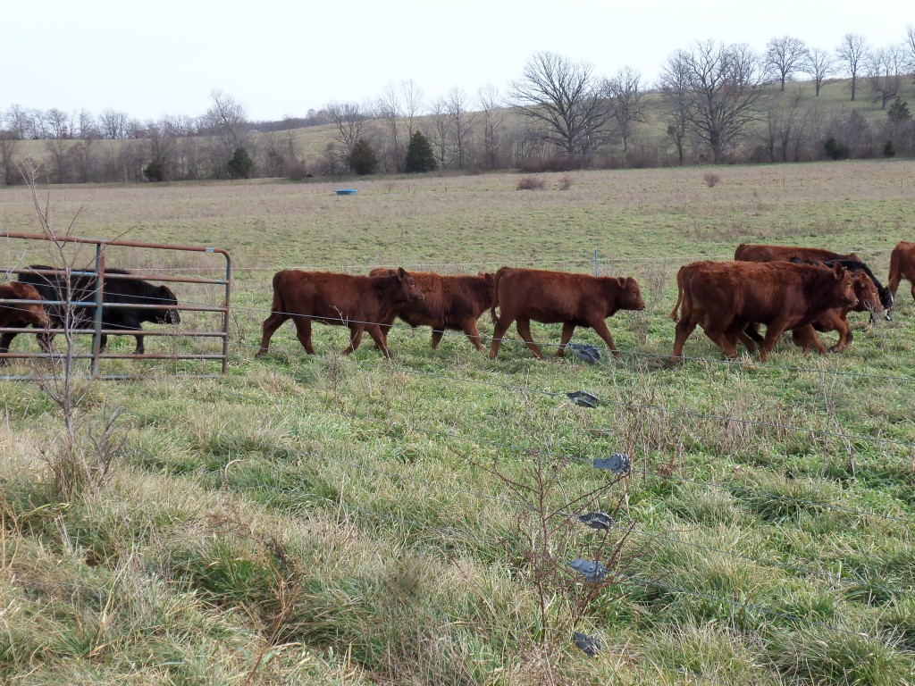 """Calves back to pasture """"weaned""""."""