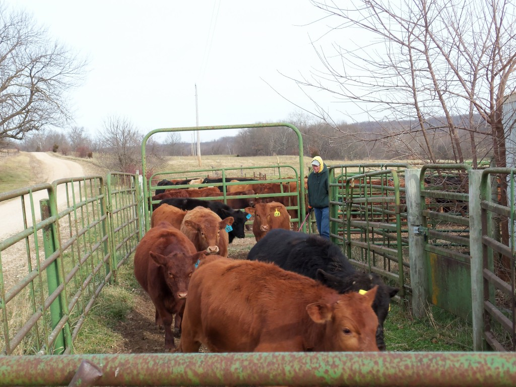 Calves being sorted from their mothers