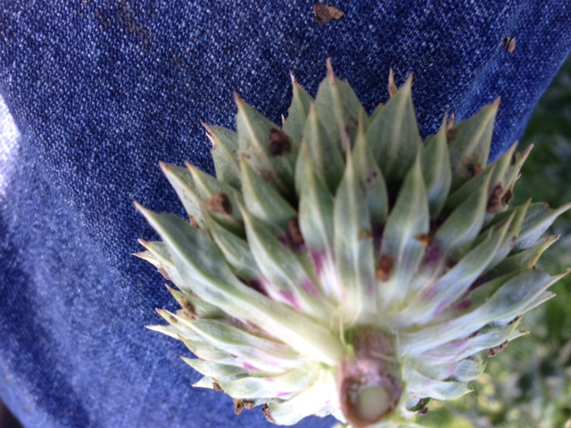 underside of thistle flower-with weevil eggs attached