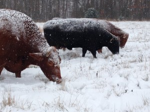 Cows will graze through soft snow. Clifford, our lead steer, in the foreground